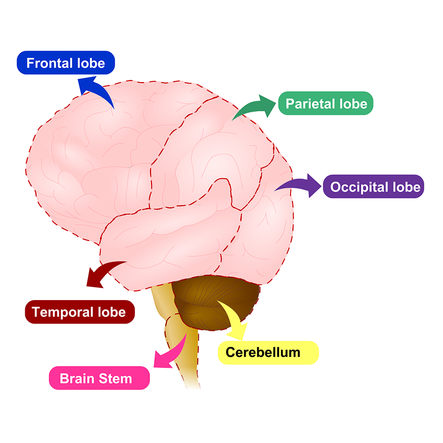 brain-parts